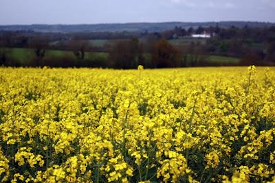 黄芥末领域花在英国萨里