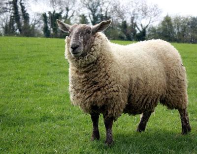 大羊在英国萨里