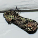 Mottled prominent