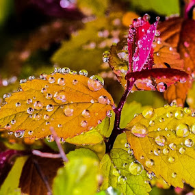 Colorful Drops by Diane Ljungquist - Nature Up Close Leaves & Grasses (  )