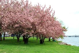 Image result for cherry blossom tree botanical gardens