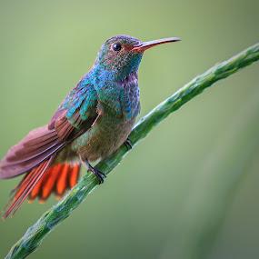 Curious by Bill Killillay - Animals Birds ( bird, orange, purple, blue, colorful, green, humming bird, eyes )