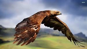 Image result for golden eagle