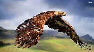 Image result for golden eagle
