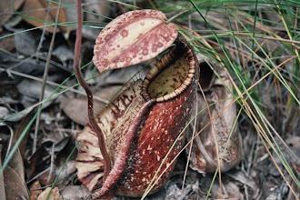 Photo: Plante carnivore dans le parc national de Bako au Sarawak