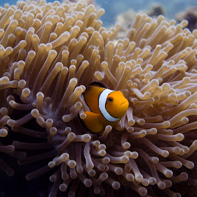Nemo (Amphiprion Occelaris) by Daniel Sasse - Animals Fish ( marine, marinelife, plongee, ao nang, underwater, fish, ecosystem, thailand, krabi, photography, scuba, buceo, tauchen, nemo, diving, eco, biology )