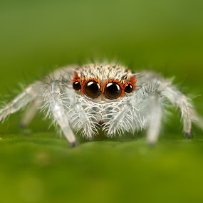 2nd instar jumping spider by Scott Thompson - Animals Insects & Spiders ( 2nd instar jumping spider )