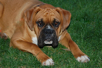 Photo: 3 ... Red the Puppy Boxer ... Little Falls