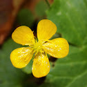 The creeping buttercup