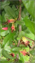 Photo: Gutui Japonez (Chaenomeles japonica)  - Turda, Str. Mihai Eminescu - 2019.05.20