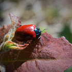 some kind of leaf beetle