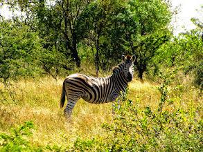 Photo: Zebras in Kruger NP