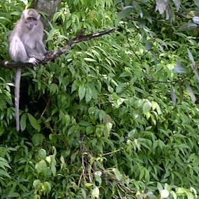Monkey at Pancasari Bedugul-Bali by Yoga Sanjaya - Animals Other