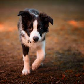 Shepherd Cottage Yomo - Ozzy by Enrico Mosca - Animals - Dogs Puppies ( puppy, portrait, dog, puppies, border collie )
