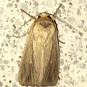 Adjutant Wainscot Moth