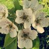 Pear tree flower
