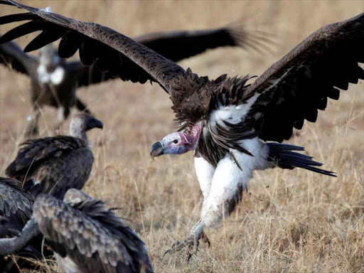 Twenty critically endangered vultures have died at near the World Famous Maasai Mara National Reserve from poisoning. / REUTERS