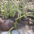 Trichocereus thelagonus