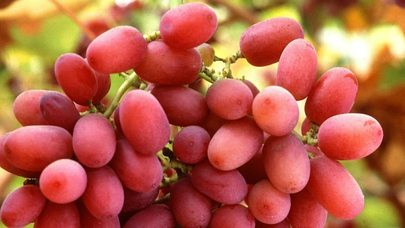 types of grapes