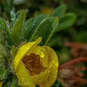 by Di Fone - Flowers Single Flower