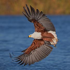 Fish Eagle flight display by Francois Retief - Animals Birds