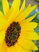 Photo: Bee on a Sunflower