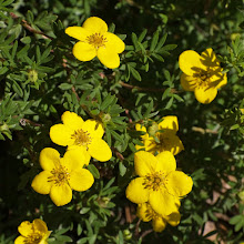 Photo: Potentilla  06/08