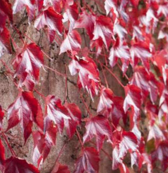 Parra virgen de color rojo instalada en un jardín vertical