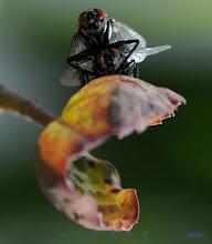 Photo: Aasfliege lat.: Sarcophaga carnaria, Graue Fleischfliege, Familie Fleischfliegen, Gattung Echten Fleischfliegen, Der Körper der Grauen Fleischfliege ist dunkelgrau und weist 5 schwarze Längsstreifen auf. Körper ist behaart. Körperlänge ca. 15 - 20 mm.