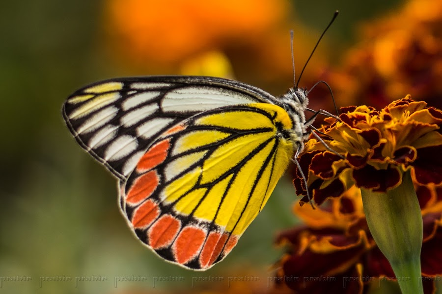 Common Jezebel by Prabir Adhikary - Animals Insects & Spiders ( butterfly, butterfly on flower, god's creation, nature's creation, common jezebel, things that can fly,  )
