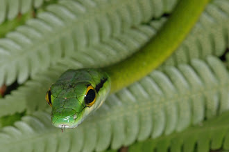 Photo: 23 Leptophis ahaetuella, Corcovado (08°27´/-83°29´), 25.06.2008, Author & det. Erwin Holzer