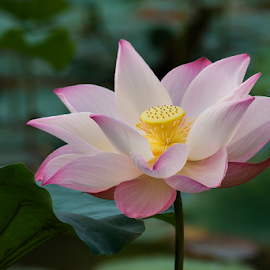 Looking Forward To Love by Steven De Siow - Flowers Single Flower ( lotus flower, flower photography, single flower, lotus, pink flower,  )
