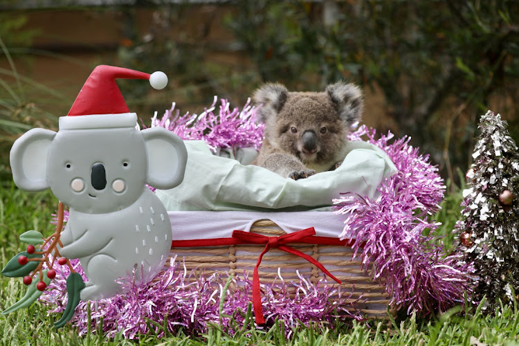 A baby koala is seen among decorations while celebrating its first Christmas at the Australian Reptile Park in Somersby, Australia, December 15, 2020, in this picture obtained from social media.