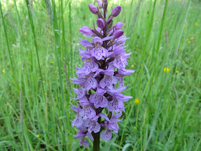Photo: 25 Jun 13 Woodhouse Lane: No excuse for another Common Spotted Orchid: this near the sluice exit. (Ed Wilson)