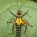 Giant Red-winged Grasshopper