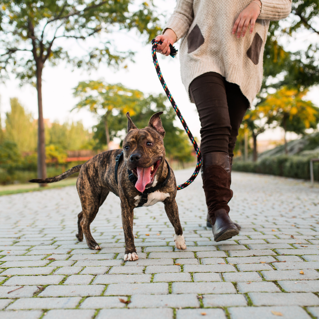 Dog on a leash out for a walk