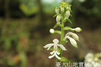 Photo: 拍攝地點: 春陽-蘭園 拍攝植物: 白鶴蘭 拍攝日期:2012_07_18_FY