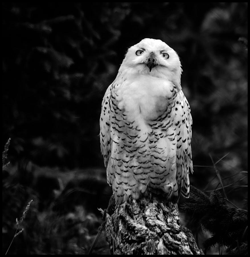 Snowy Owl by Dave Lipchen - Black & White Animals ( snowy owl )