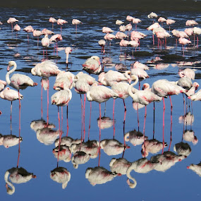Flamingo Reflection by Jo-Ann de Smit - Animals Birds (  )