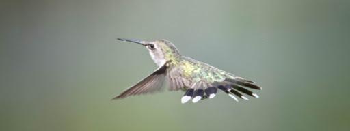Ruby-throated hummingbird (Archilochus colubris), , Bromont, Bromont, 2017/07/23