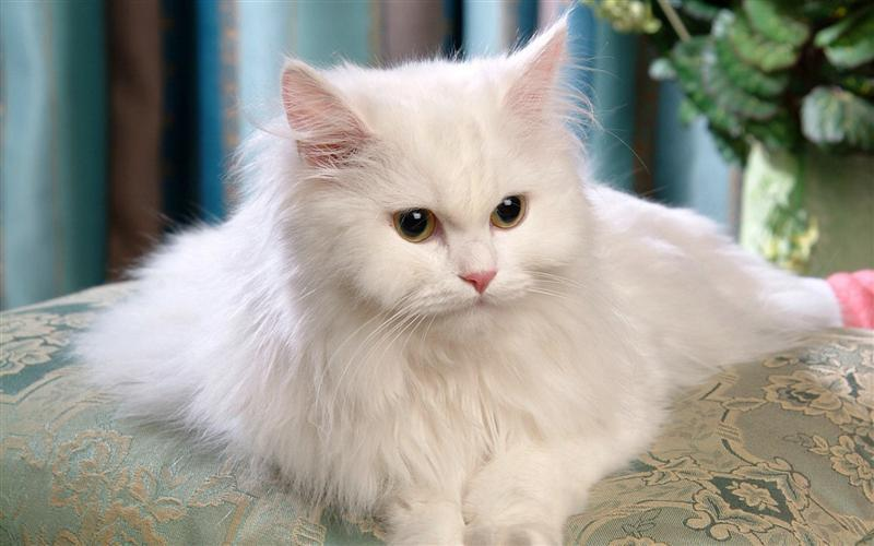 Cat Wallpapers Hd Android Applications Appagg
