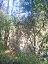 Photo: Another oak awaiting liberation.