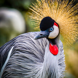 Hairdo by Jurica Žumberac - Animals Birds ( natural, nature, bird, animal, zoo, portrait, wildlife )