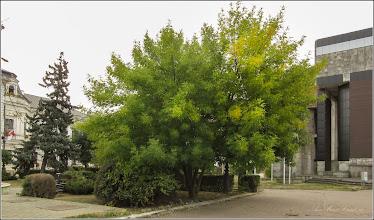 Photo: Arțar, Paltin de câmp (Acer platanoides) - din Turda, Piata 1 decembrie 1918, parc - 2019.09.24