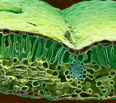 penampang%20melintang%20daun Foto foto mikroskop elektron (1) : Sel dan jaringan makhluk hidup