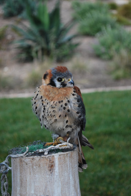 This is a photo of a small bird of prey at Terranea Resort, Palos Verde, CA.