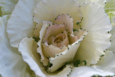 This is a close-up photo of the center of a decorative white cabbage.