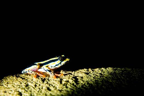 Striped Stream Frog