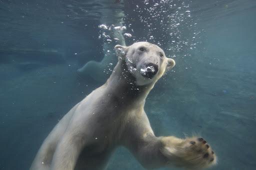 polar-bear-underwater.jpg - A polar bear swimming underwater in the Conrad Prebys Polar Bear Plunge area of the San Diego Zoo.