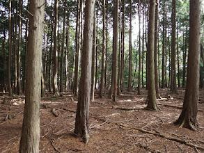 朝倉山山頂部は平坦な植林帯